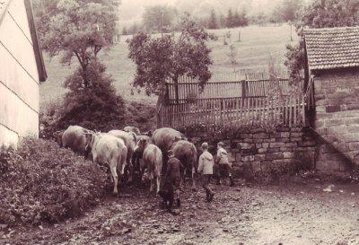 Kinder treiben Kühe auf die Wiese