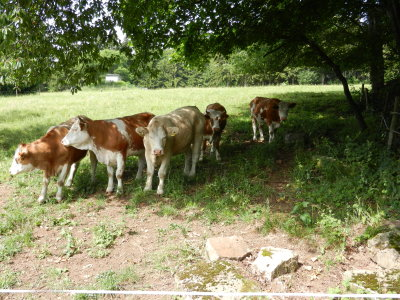 Cattle seek shelter in the shade of trees