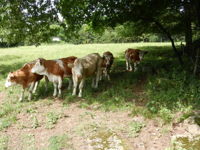 Cattle seek refuge in the shade of the trees