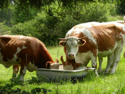 Cattle eat grist from the tub