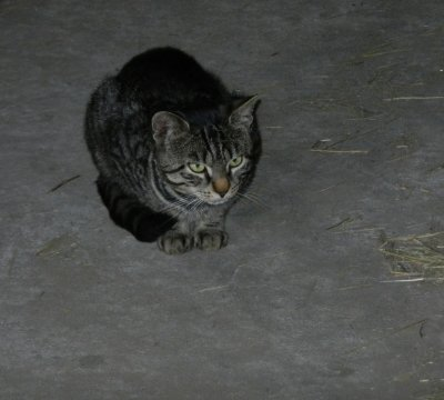 Cat is sitting in the barn and waiting for the feeding