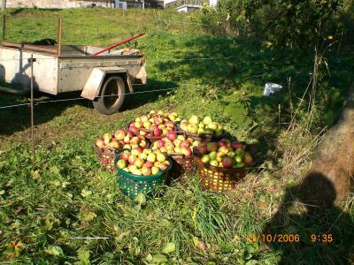 Harvest of different apple varieties