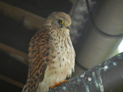 Bird of prey on the rain garbage pipe