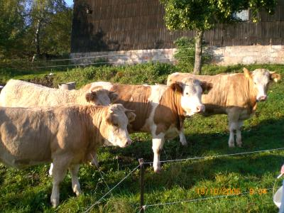 Simmental cattle on the summer pasture